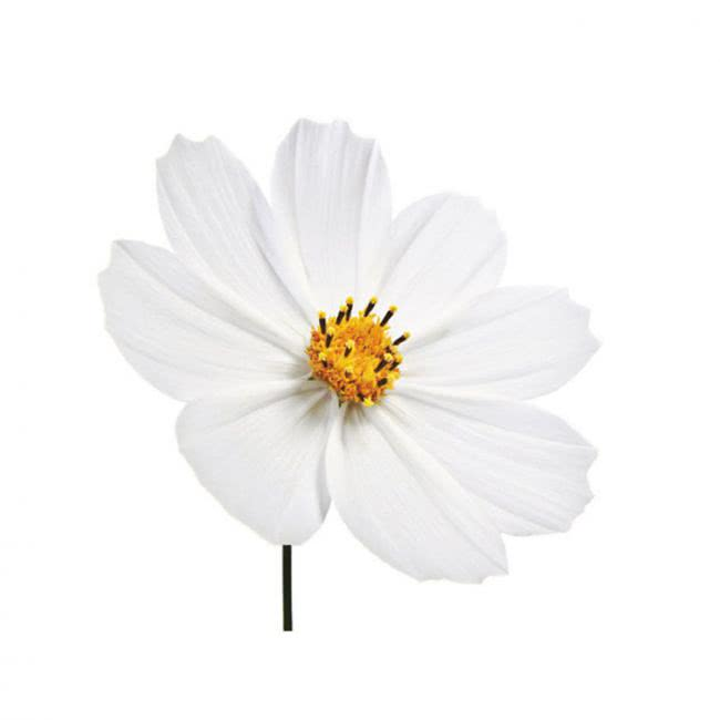 Blütenblatt Veiner + Ausstecher  Kosmee